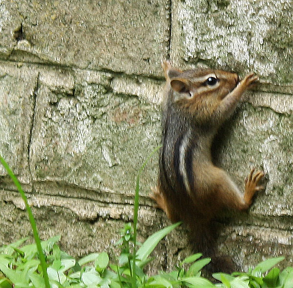 Chipmunk clinging to wall