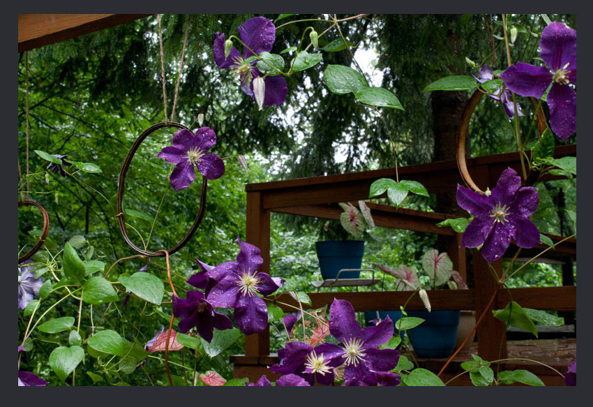 Clematis Vine Growing Through Old Embroidery Frames